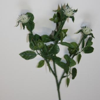 Blumenstiel Biedermeierrose